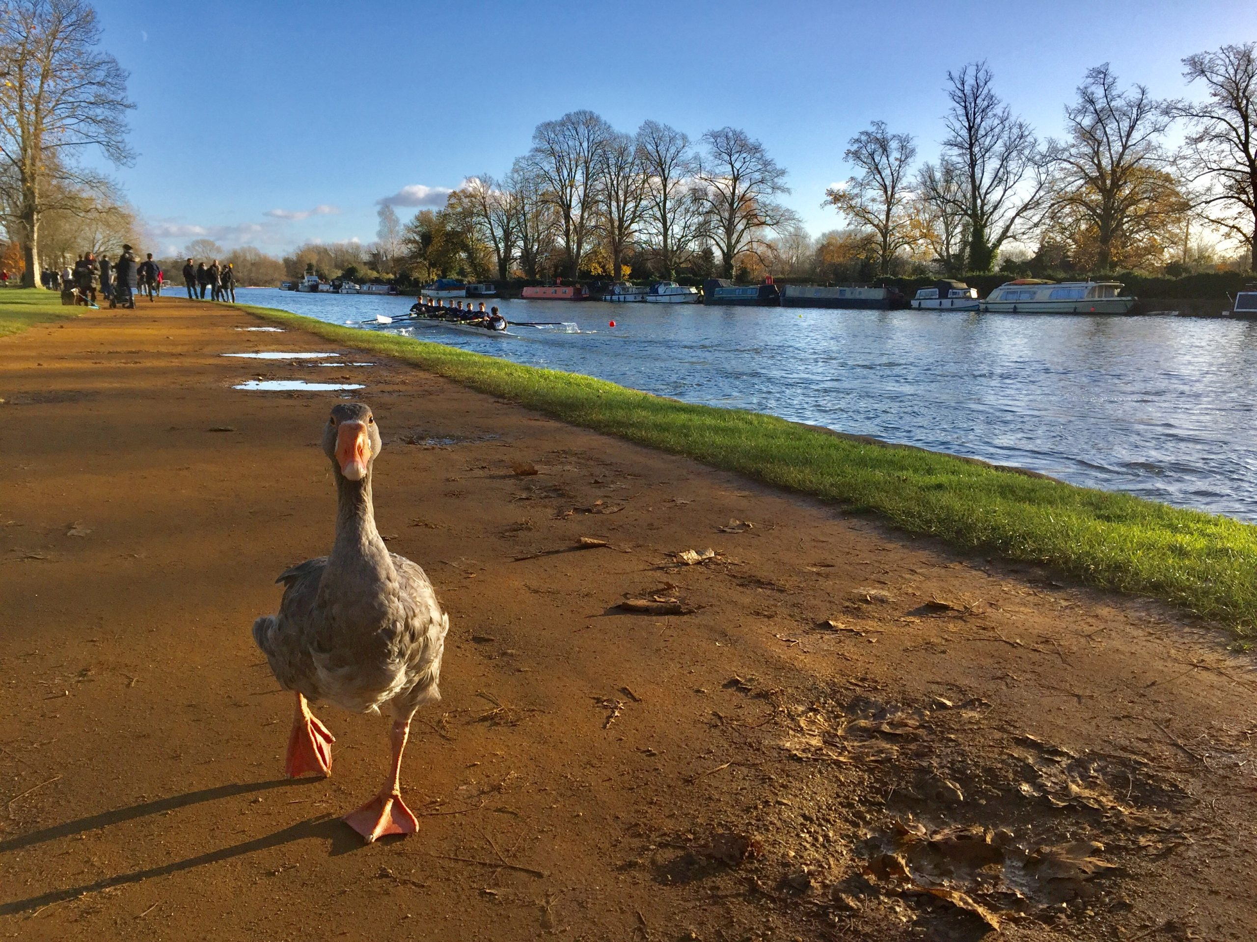A goose by the Thames river
