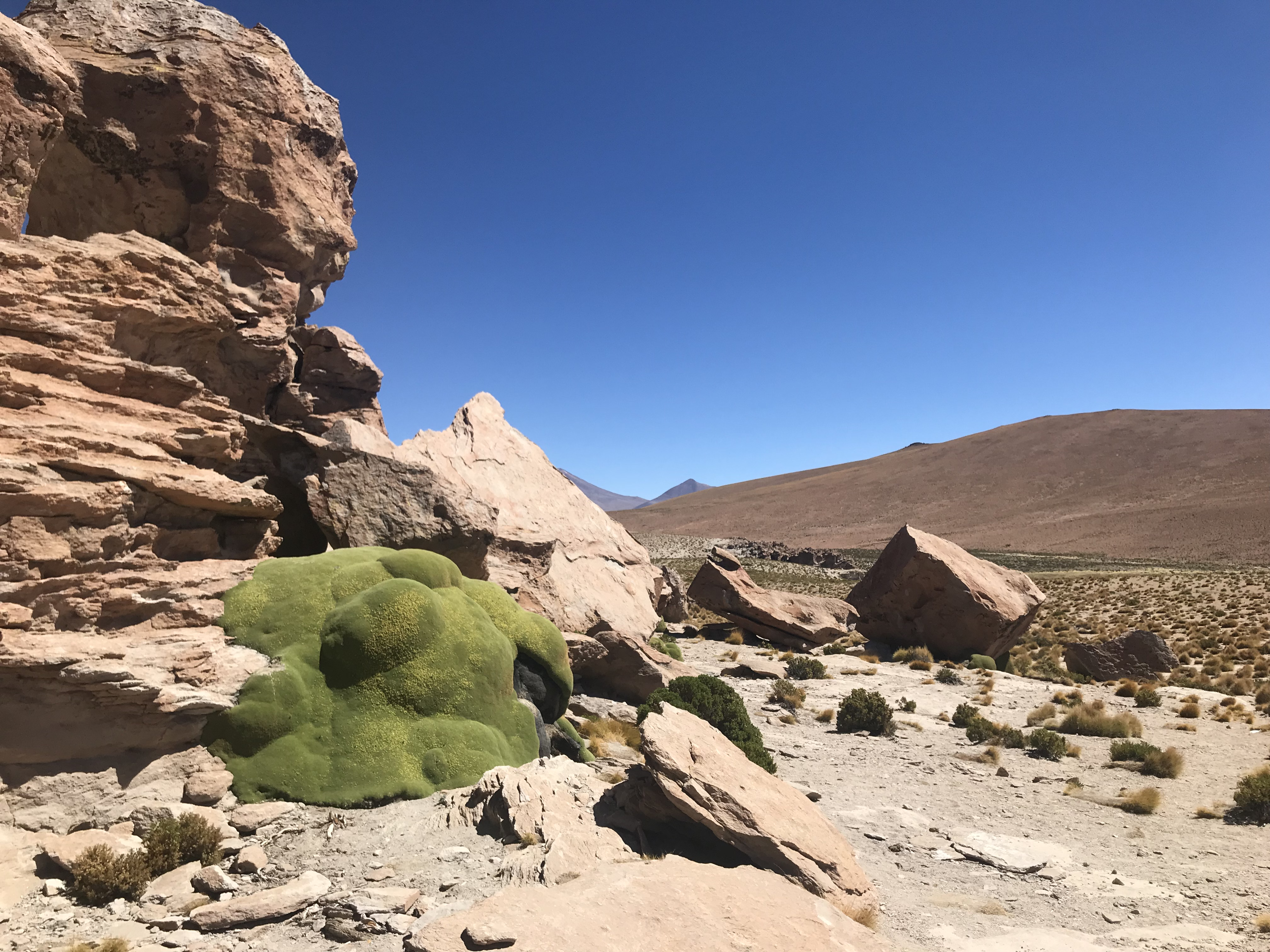 Some green yareta close to the Laguna Negra