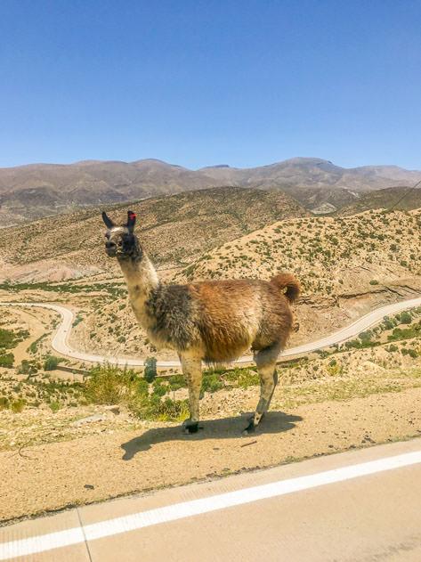 A llama on the road to Villa Abecia