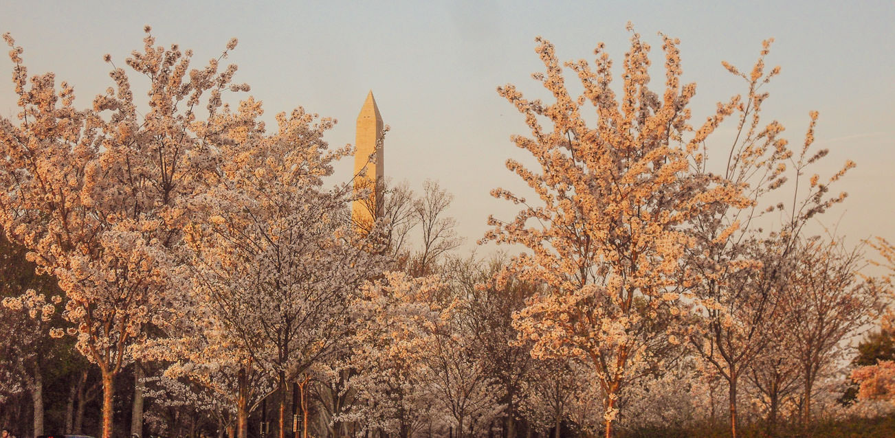 The Cherry Blossom is something you can't miss in Washington DC