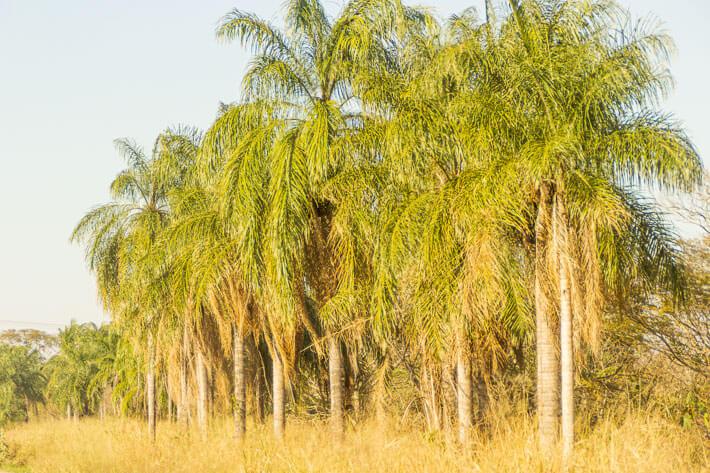 Palm trees abound in the region of Santa Cruz