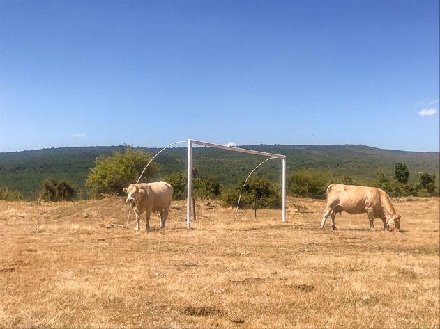 Cows in a football field near Monasterio de la Sierra