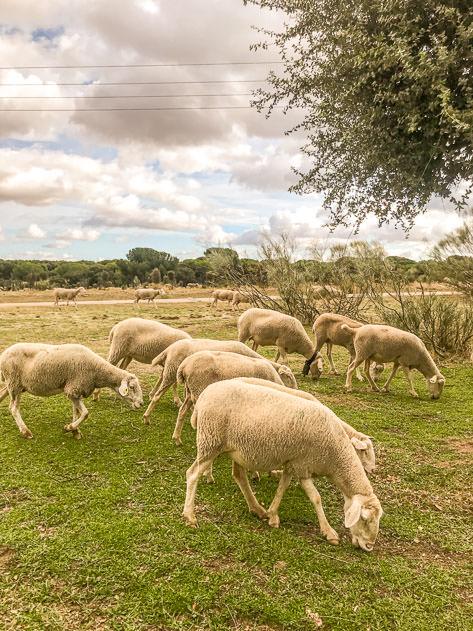 Cute sheeps in Monte del Pilar